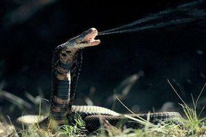 17 loài rắn cực độc, đe dọa tính mạng con người