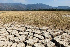 Đắk Lắk: Hạn hán kéo dài, dân xót xa cắt lúa non cho bò ăn