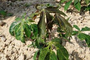 Thừa Thiên - Huế: Khẩn trương dập dịch khảm lá sắn
