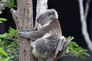 Cách giải nhiệt lạ thường của gấu túi