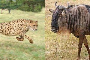 10 'cỗ máy tốc độ' hoàn hảo trong thế giới động vật