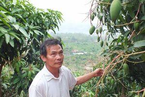 Cây ăn quả Sơn La dự báo được mùa lớn