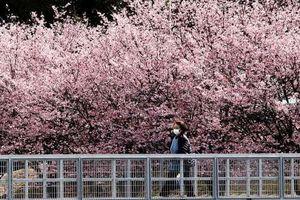 Quên COVID-19 đi, nhẹ lòng ngắm hoa anh đào nở rộ khắp thế giới