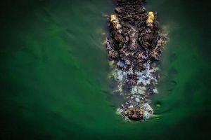 Mổ bụng cá sấu, rụng rời phát hiện cơ thể người