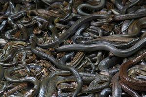 Bạn biết gì về 'Đảo chết' - nơi cư ngụ của gần 400.000 con rắn độc