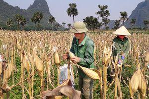 Quảng Bình: Trồng ngô lãi trên 30 triệu đồng/ha
