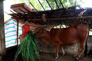 Khi con bò giống mang những giấc mơ đổi phận!