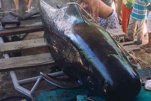 Khánh Hòa: Người dân phát hiện cá voi 'khủng' trôi dạt vào bờ