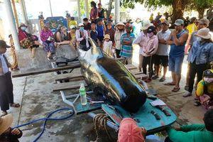 Khánh Hòa: Phát hiện xác cá voi nặng hơn 1 tấn dạt vào bờ