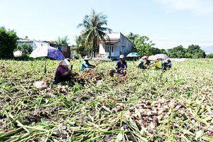 Xã Cam Hòa: Thu hoạch sớm khoai sáp