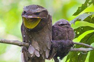Loài chim kỳ lạ với khả năng ngụy trang bậc thầy trong tự nhiên