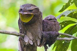 Cú muỗi mỏ cặp: Loài chim kỳ lạ, bậc thầy ngụy trang trong tự nhiên
