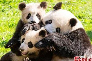 Trung Quốc xét nghiệm COVID-19 cho 'quốc bảo' gấu trúc