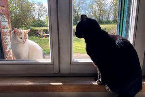 Mèo truyền Covid-19 cho nhau, nhưng không có triệu chứng