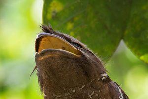 Loài chim kỳ lạ sở hữu mỏ như mồm ếch