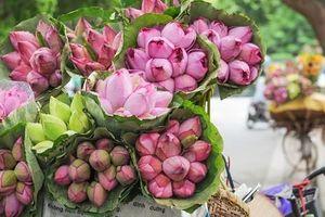 Tháng 5, sen hồng, sen trắng đầu mùa được bán với giá từ 30-120 ngàn đồng/bó, bà nội trợ thi nhau mua về cắm vì vẻ đẹp tao nhã