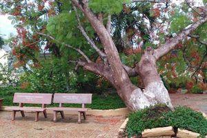 Đề xuất chặt nhiều cây trong trường sau vụ phượng đổ, đè chết học sinh