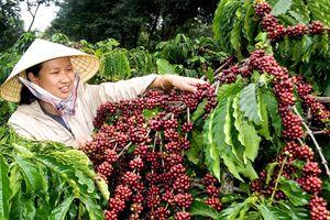 Giá cà phê hôm nay 10/6: Quay đầu giảm 400 đồng/kg