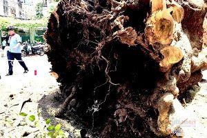 Đề xuất chặt cây tại 14 trường học ở Sài Gòn