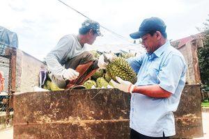 Khánh Sơn: Bắt đầu thu hoạch sầu riêng