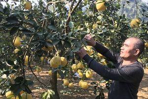 Cấp thiết cải tạo giống cây ăn quả