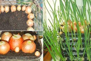 Mẹo trồng hành lá tại nhà, ăn quanh năm không hết