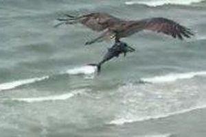 Chim 'nhấc' cá khổng lồ ra khỏi đại dương