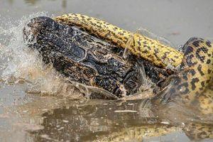 Kinh hoàng cảnh trăn khổng lồ hạ gục sát thủ đầm lầy Amazon