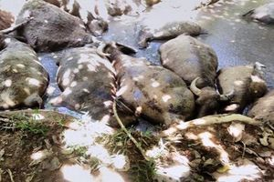 Vụ 14 con trâu chết bất thường ở Ba Vì: Sẵn sàng các phương án nếu dịch bệnh xảy ra