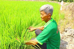 Ngăn chặn sản xuất giống lúa Thiên Đàng