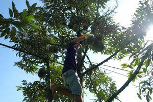 Sầu riêng Khánh Sơn được mùa kép