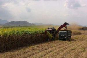 Nhiều chính sách hỗ trợ người trồng mía