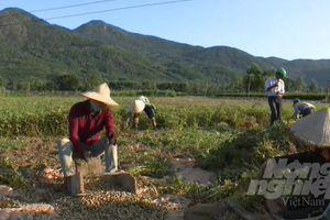 Trồng đậu phộng 'né' hạn, hiệu quả gấp 5 lần lúa