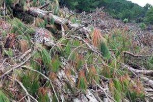 Cần xử lý nghiêm những kẻ phá rừng ở núi Langbiang