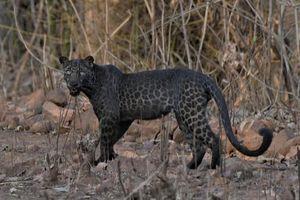 Báo đen cực hiếm xuất hiện tại Ấn Độ