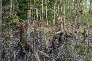 Bị phạt 50 triệu đồng vì khai thác cây rừng trái phép