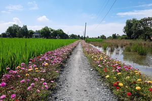 Thảm hoa Mười Giờ rực rỡ trên nhiều con đường nông thôn ở TP.HCM