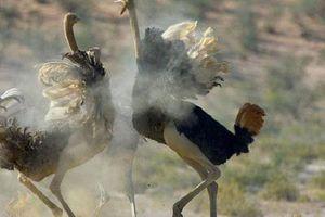 Bí ẩn về đà điểu, loài chim lớn nhất thế giới