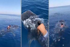 Người đàn ông cưỡi cá mập voi ở Biển Đỏ