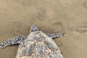 Phát hiện cá thể rùa biển đã chết trôi dạt vào vịnh Đà Nẵng