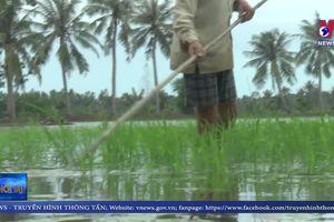 Hàng trăm hécta lúa tại Cà Mau thiệt hại do nhiễm mặn