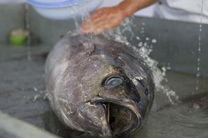 Xuất khẩu cá ngừ tươi sống sang EU tăng hơn 2.600%