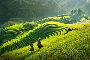 Vàng ươm mùa lúa chín Hoàng Su Phì