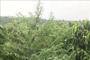 Phát hiện trồng cây cần sa xen kẽ cây cà phê ở Đắk Nông