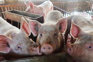 Nông dân Trung Quốc thế chấp lợn vay hàng chục triệu USD
