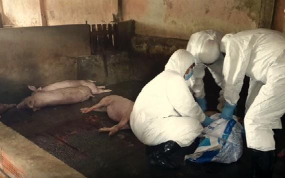 Đàn heo thuộc chương trình giảm nghèo dương tính với virus dịch tả heo châu Phi