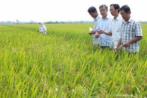 Sẽ có bước chuyển lớn cho sản xuất lúa gạo hữu cơ