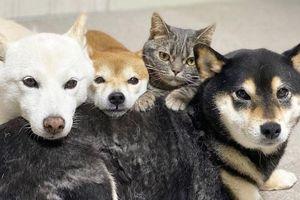 Chú mèo này là sự thay thế hoàn hảo cho chú chó Shiba inu chuyên phá hỏng các bức ảnh chụp nhóm