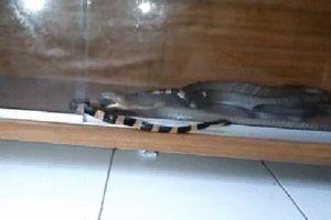 Điều gì sẽ xảy ra nếu thả một con rắn cạp nia vào chuồng hổ mang chúa?
