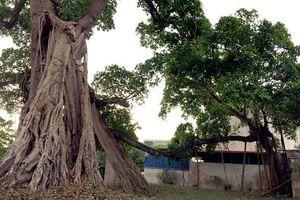 Cây đa gần 200 tuổi ở Bến Tre được công nhận cây Di sản Việt Nam